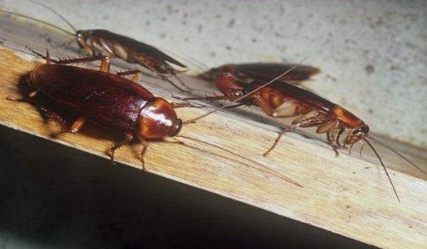 Κατσαρίδες στο σπίτι: 7 απλοί και φυσικοί τρόποι για να εξαφανιστούν