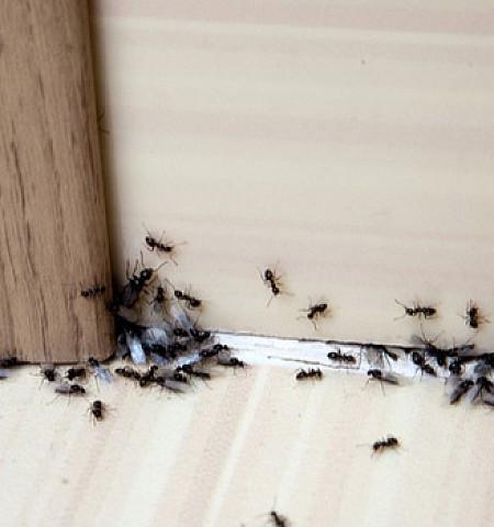 Τρεις φυσικοί τρόποι για να εξαφανίσετε τα μυρμήγκια
